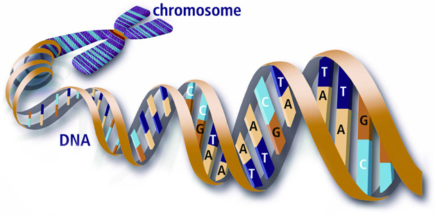 Y-Chromosome_DNA